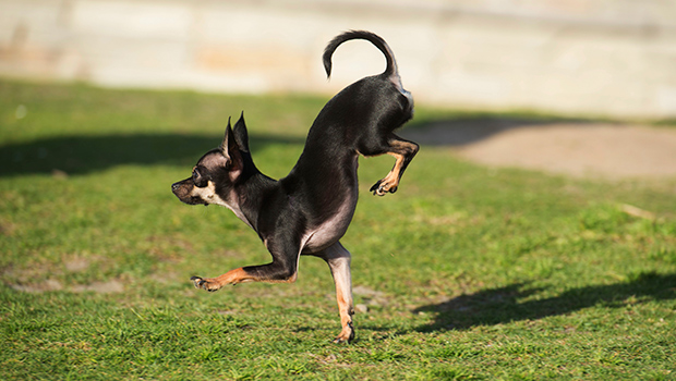 Fastest-5-metres-on-front-paws-by-a-dog_Konjo_guinness_world_records